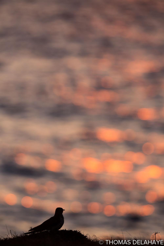 Coucou gris au coucher de solei II l