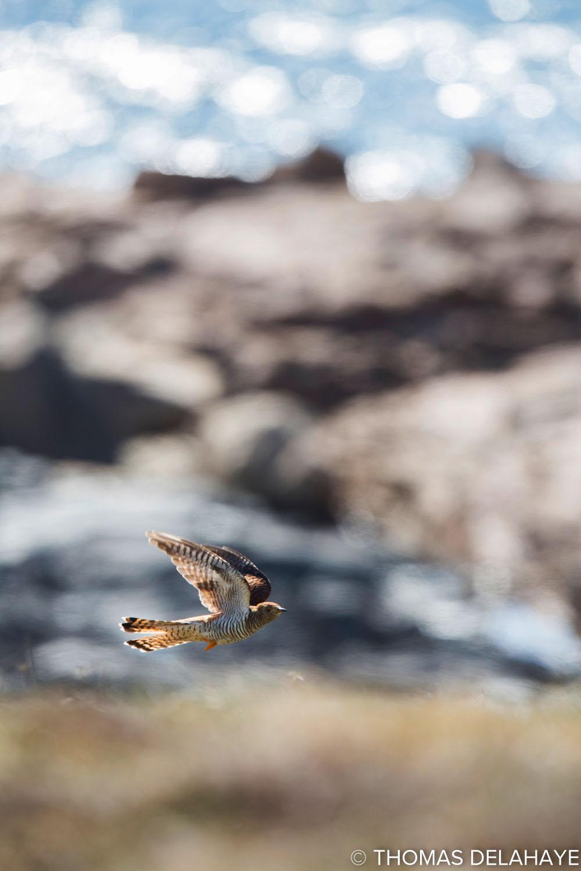 Coucou gris volant II