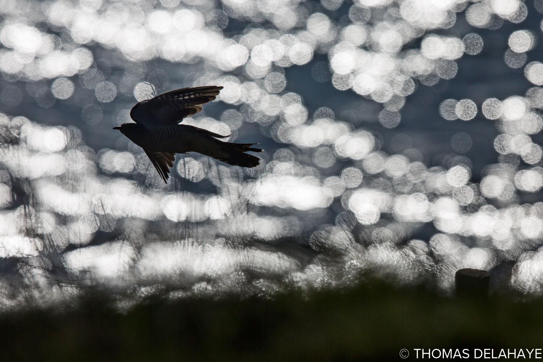 Coucou gris volant