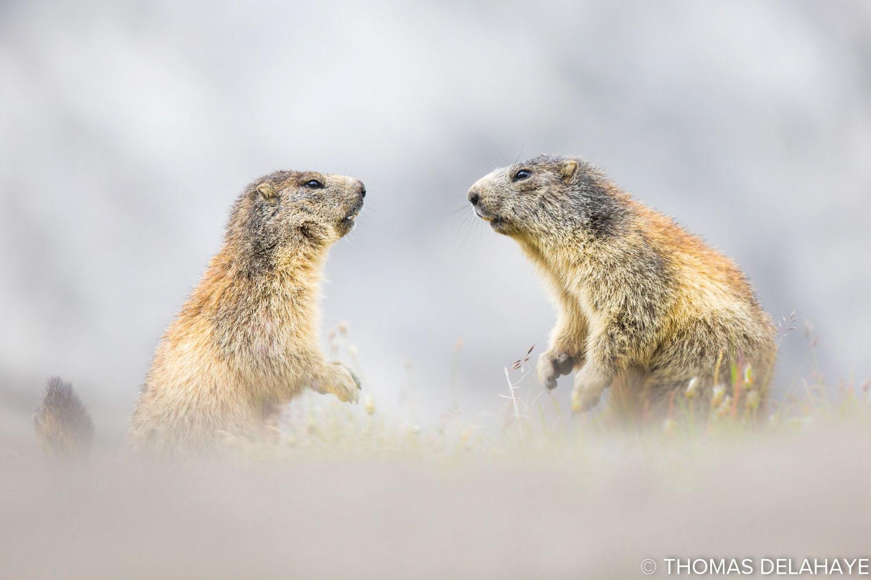 Face a face de marmotte
