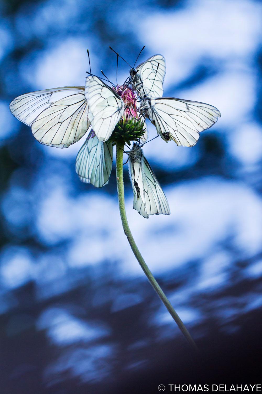Fleur de Papillons Gazés