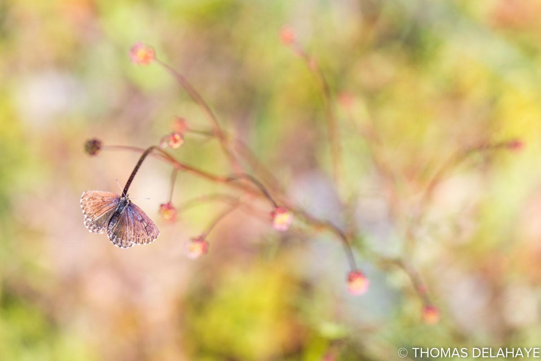 Guirlande d'Azuré des orpins