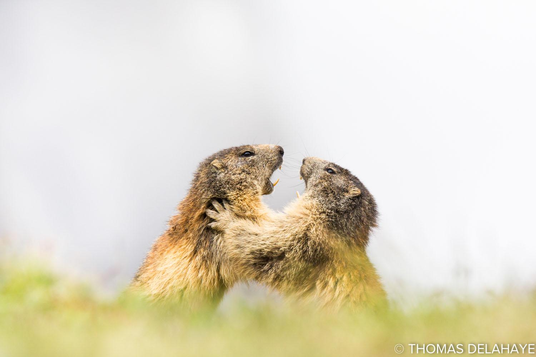 Joute amicale de marmottes
