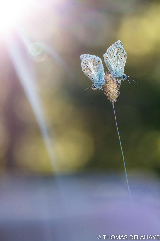 Rayons de soleil sur Duo d'argus bleu nacré