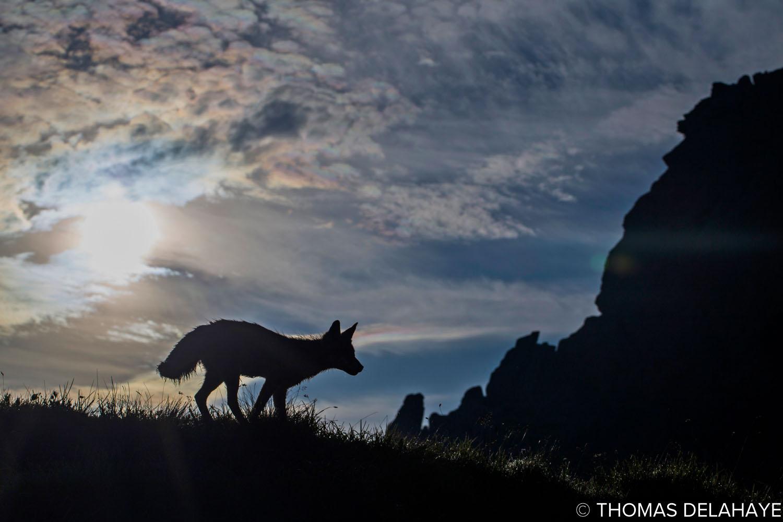 Sunrising fox