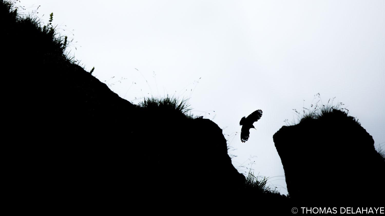 Tichodrome en vol entre 2 roches
